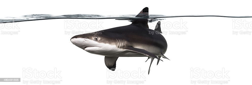 Blacktip reef shark swimming at the surface stock photo
