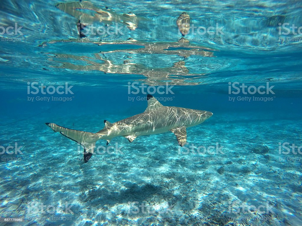Blacktip Reef Shark Swimming In Shallow Water Stock Photo