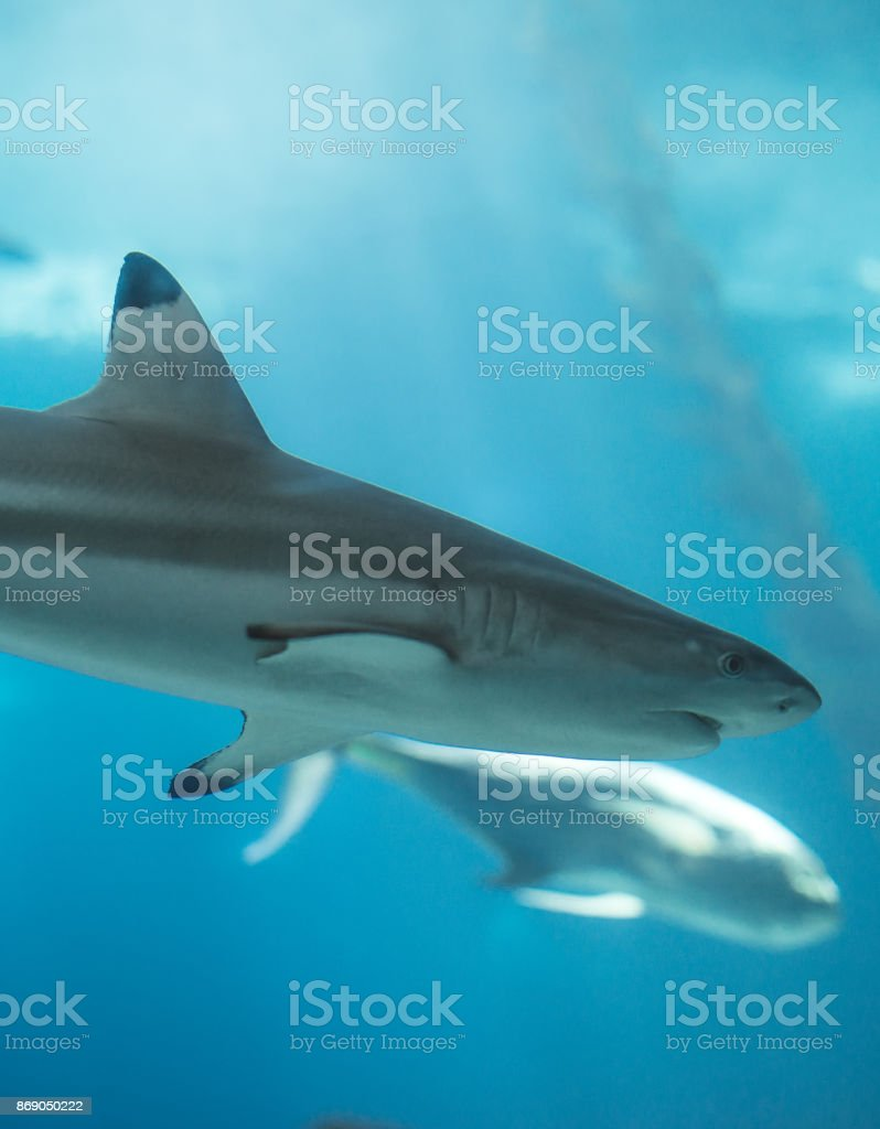 Blacktip reef shark swimming in the sea. stock photo