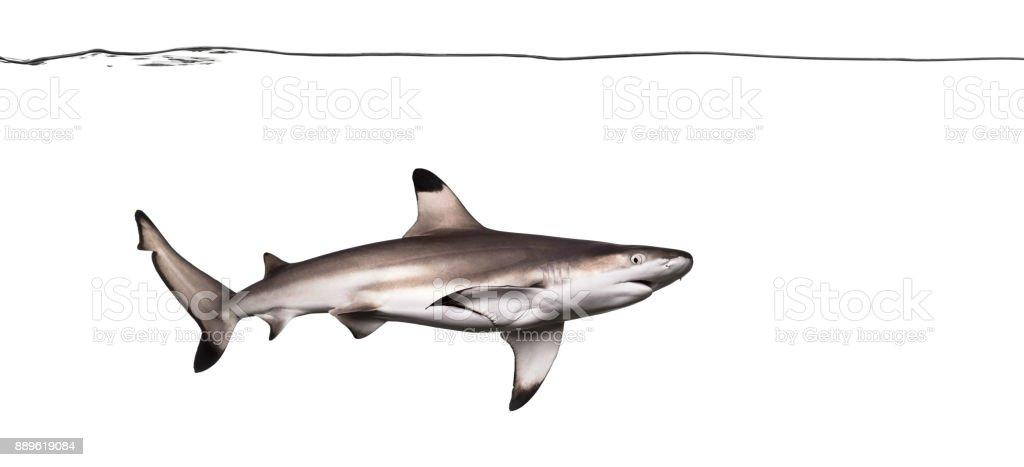 Blacktip reef shark swimming under water line, Carcharhinus melanopterus, isolated on white stock photo