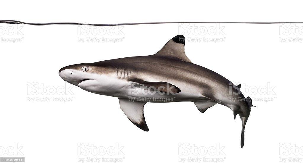 Blacktip reef shark swimming under water line stock photo