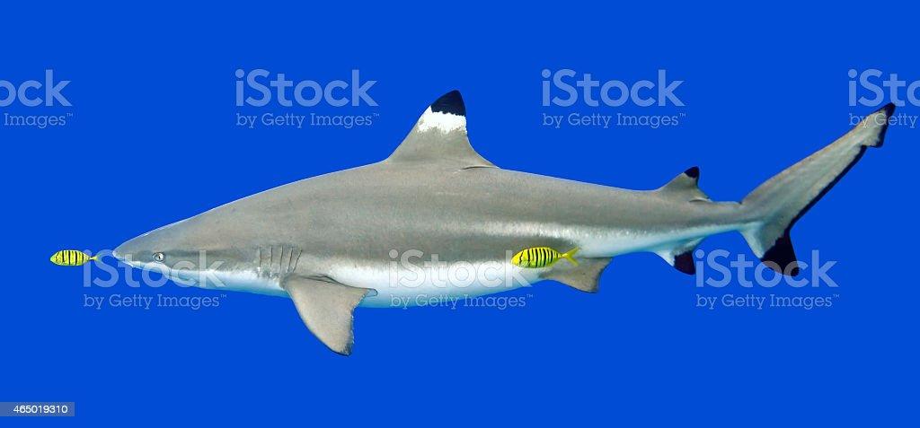 Blacktip Reef Shark with yellow Pilot Fish stock photo