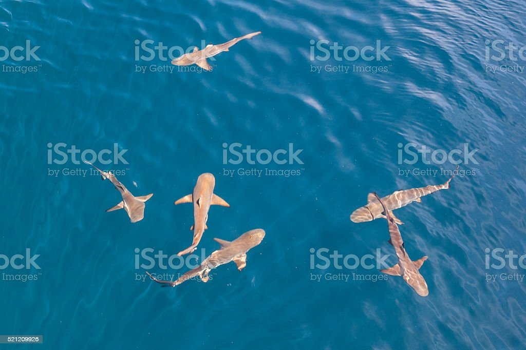 Blacktip Reef Sharks stock photo