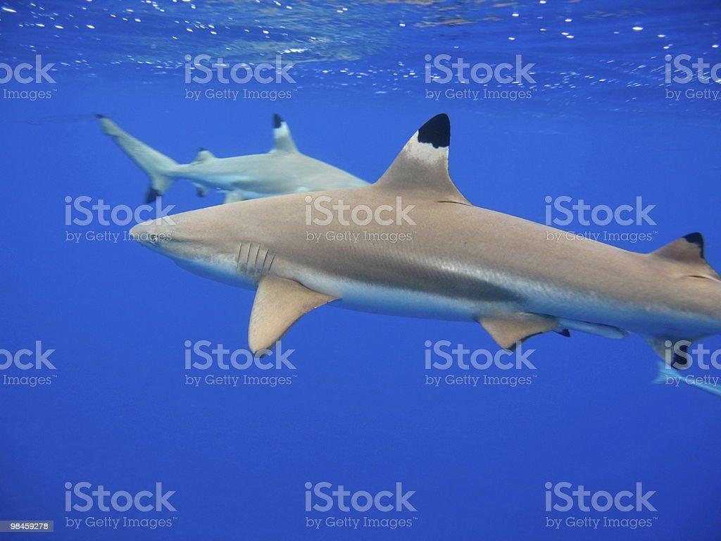 Blacktip Reef Sharks royalty-free stock photo