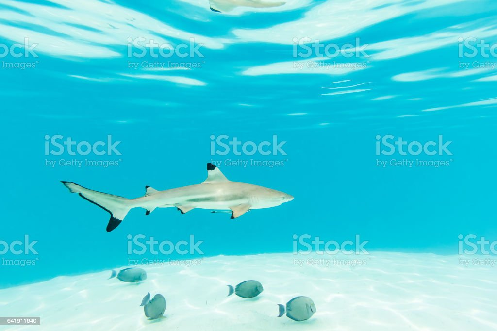 Blacktip Reef Sharks Swimming in Clear Turquoise Water stock photo