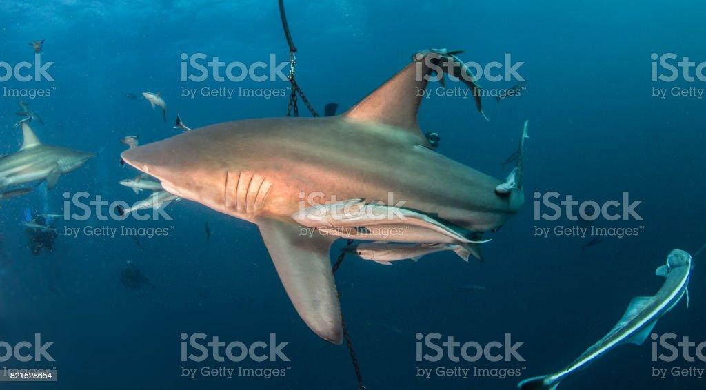 Blacktip Shark at South Africa stock photo