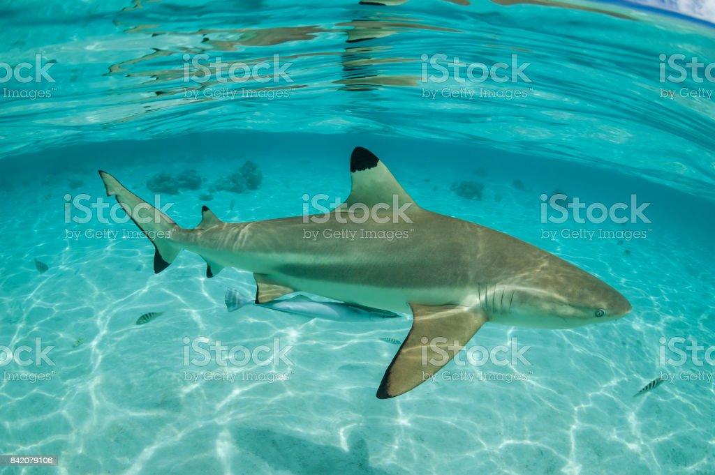 Blacktip shark (Carcharhinus limbatus) stock photo