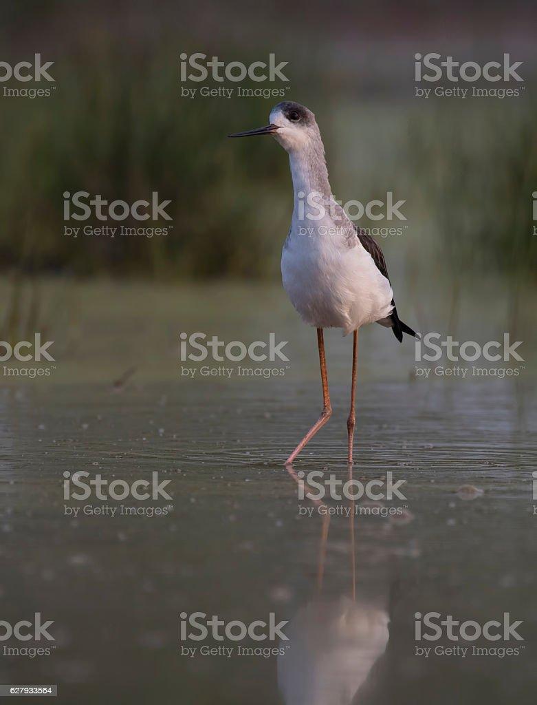 Black-winged stilt, also known as common stilt stock photo