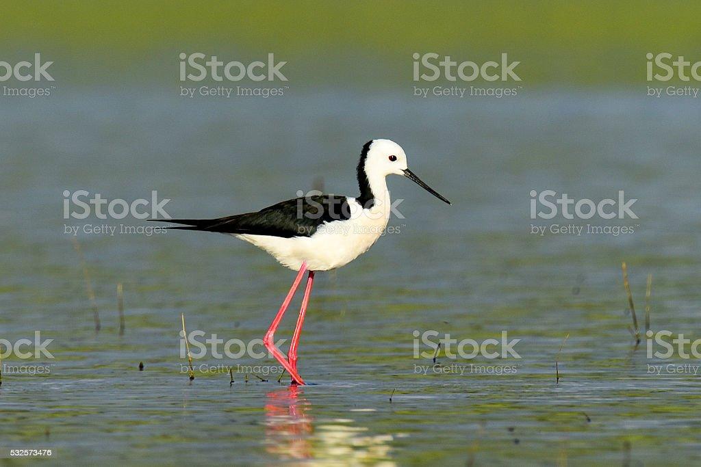 Black-winged stilt feeding in lake Tinaroo, QLD, Australia stock photo