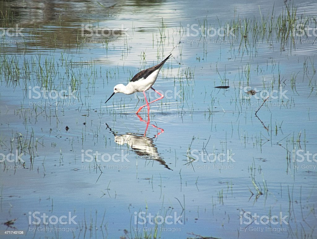 Black-winged Stilt Foraging in a Low-lying tropical Lake stock photo