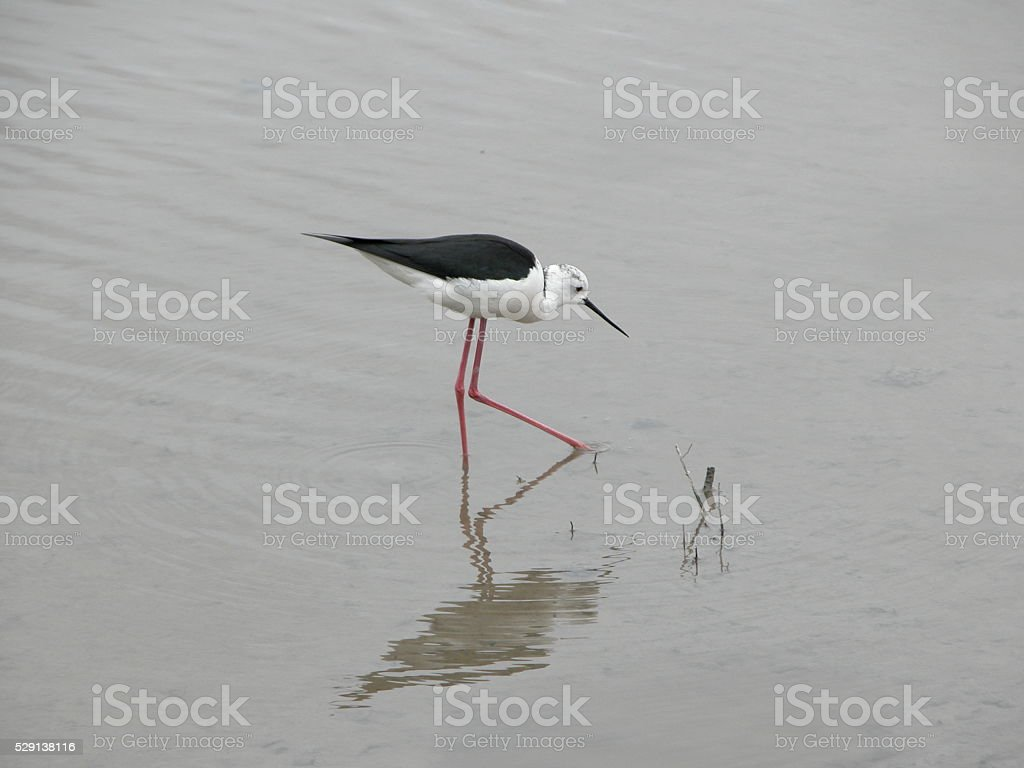 Black-winged Stilt in Majorca stock photo