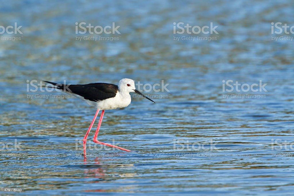Black-winged stilt in Pottuvil, Sri Lanka stock photo