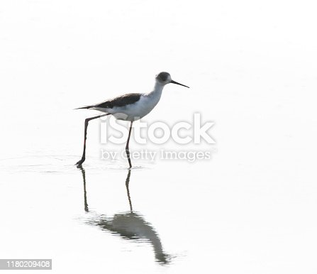 L33-36cm. Frequents areas of shallow fresh, brackish or salt water, e.g. lagoons, saltpans, estuaries. Migratory, generally wintering in Africa. Vagrant to Britain & Ireland. Food mainly insects; long legs enable feeding in deeper water than used by other waders. Nest is in lined scrape on islet or near water, occasionally a raised mound of vegetation in shallow water.  This is a scarce breeder in the Netherlands, the last decades increasing in numbers.