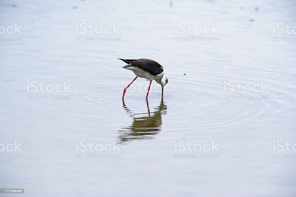 Black-winged stilt royalty-free stock photo