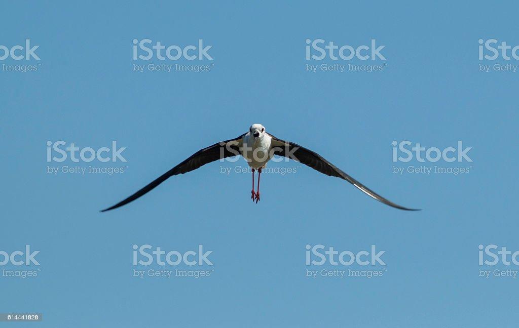 Black-winged Stilt ( Himantopus himantopus ) stock photo