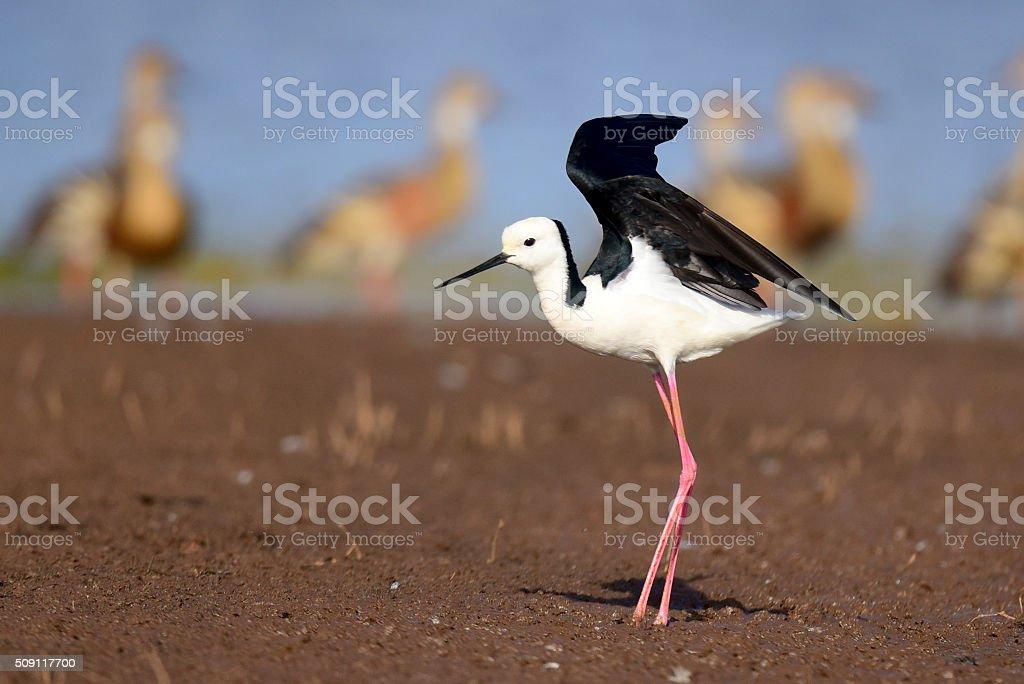 Black-winged stilt taking off at lake Tinaroo, QLD, Australia stock photo