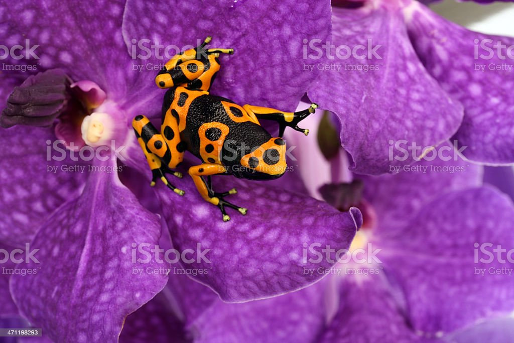 Black-yellow frog on  Orchid . stock photo