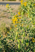 istock Bladderpod, Peritoma arborea, Joshua Tree National Park, California, Mojave Desert.  Cleomaceae. With many seed pods. 1254157221