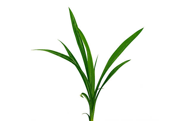 Blade of grass isolated on white background. stock photo