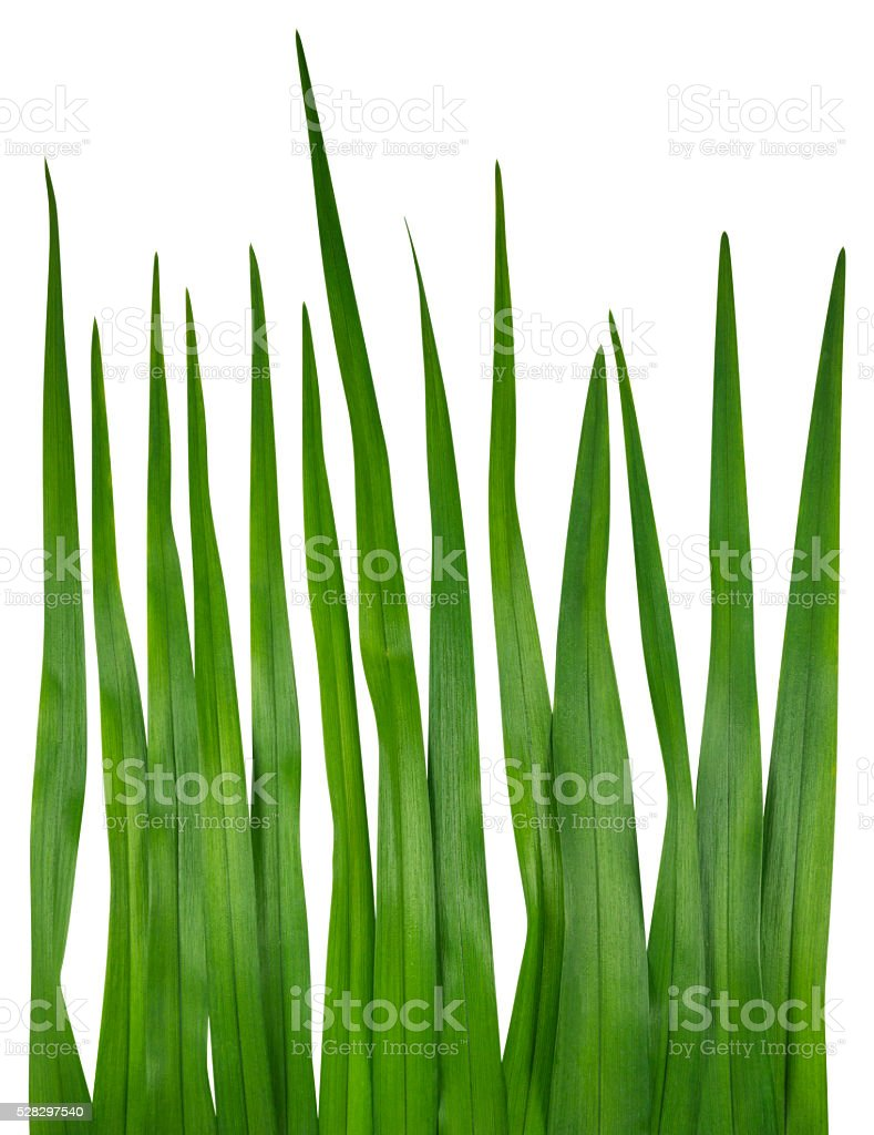 single blade of grass. Blade Of Grass Isolated On White Stock Photo Single L