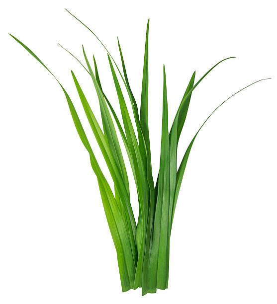 Blade of grass isolated on white stock photo