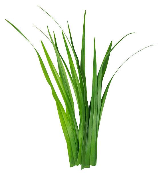 filo d'erba sola su bianco - grass isolated foto e immagini stock