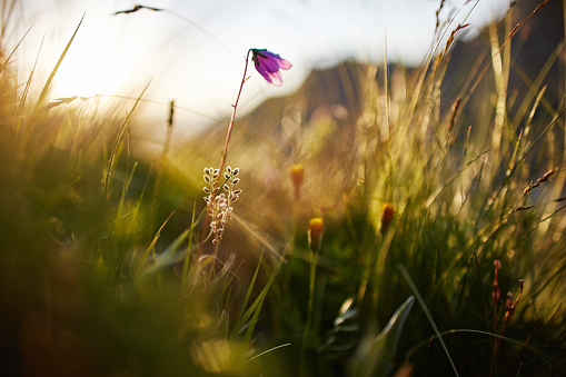 Blade of grass swaying in the wind in the sunset macro photo closeup. Spikelets against the sun in the field, rural landscape, wildflowers in the morning at dawn