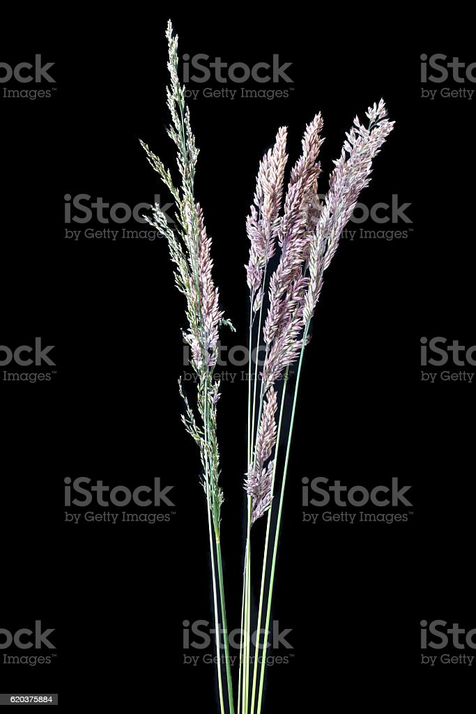 Blade of Grass with Seed foto de stock royalty-free