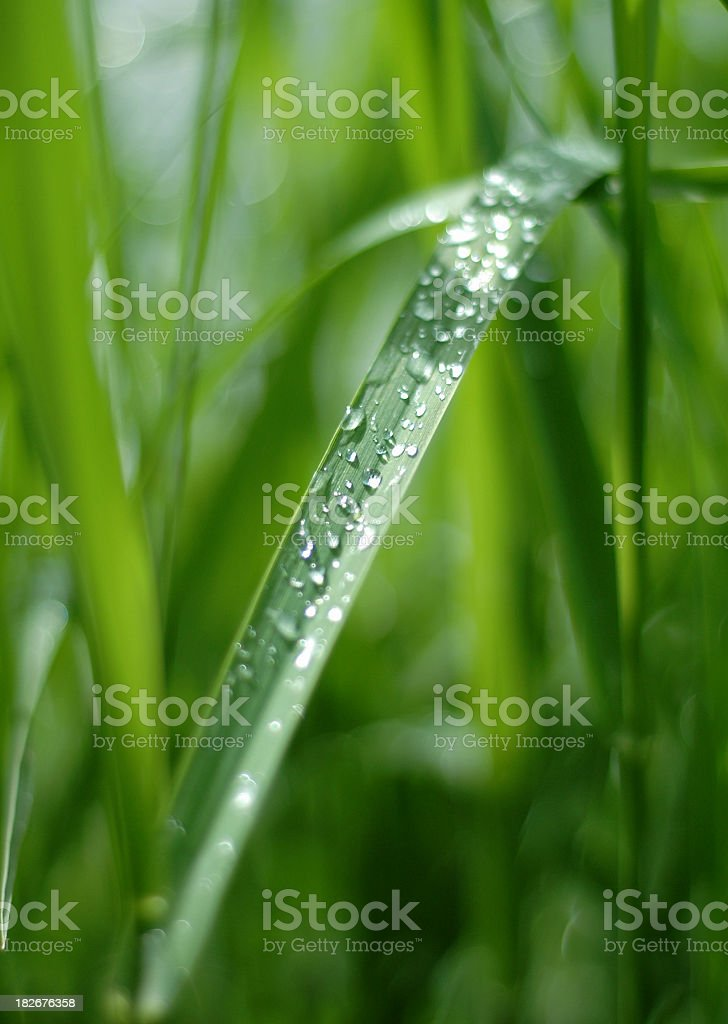 Blade of Grass with Spring Dew royalty-free stock photo