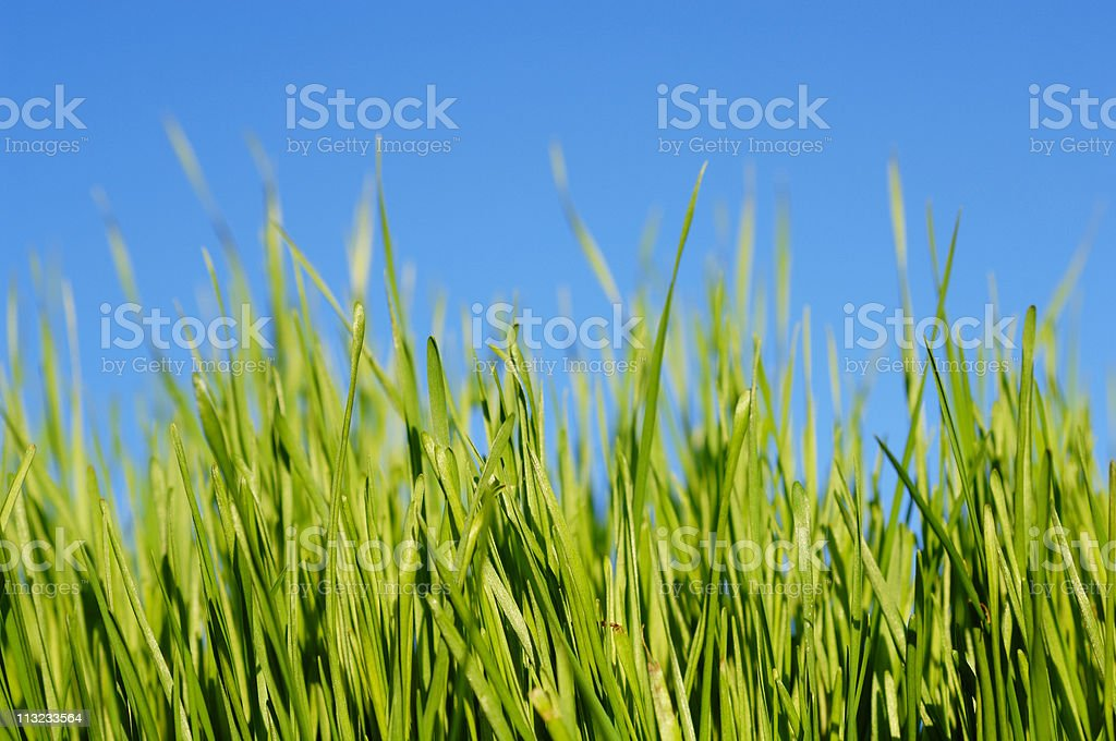 blades of grass against blue sky royalty-free stock photo