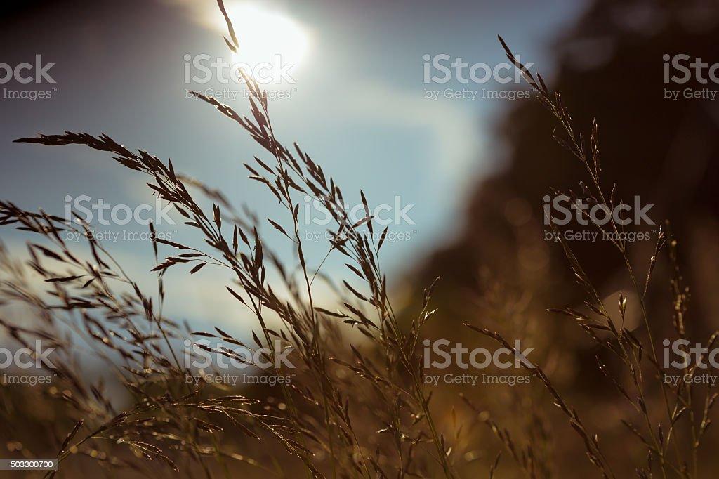 Blätter von Gras im Sonnenuntergang im Sommer – Foto