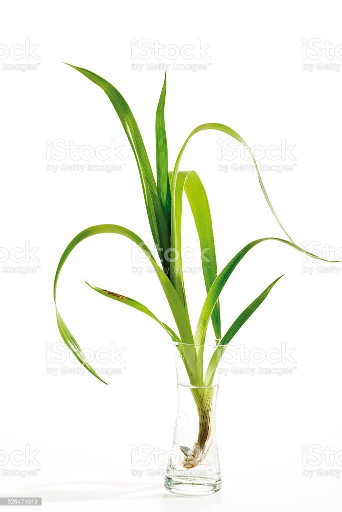 Blades of grass in vase, close-up stock photo