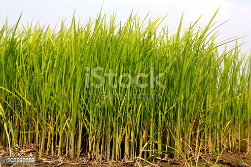 Blades of grass swaying through wind outdoor in nature.