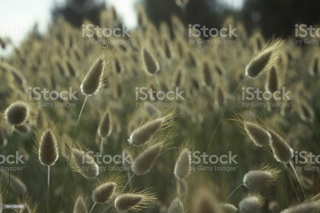 Blades of Rabbit Tail Grass stock photo