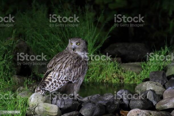 Blakistons fish owl in hokkaido japan picture id1013601904?b=1&k=6&m=1013601904&s=612x612&h=q obpr lilh 7hpfn f2yq9cagoavdffwwqtmlbyzfu=