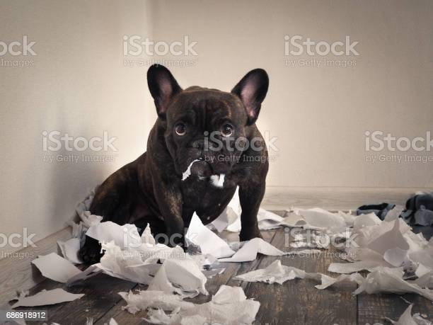 Blame the dog made a mess in the room playful puppy french bulldog picture id686918912?b=1&k=6&m=686918912&s=612x612&h=pjz gsv3tjsinp1hvea6bl5ol909cqatme7usybjxsy=