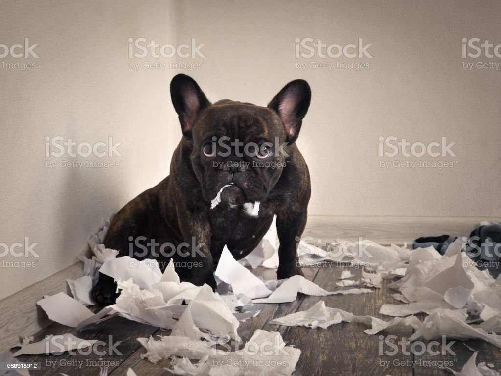 Blame the dog made a mess in the room. Playful puppy French bulldog - fotografia de stock