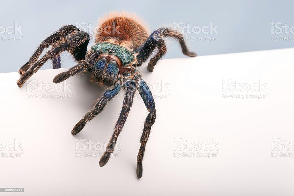 Blank sign - Greenbottle Blue Tarantula stock photo
