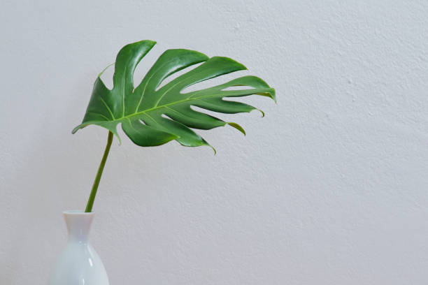 Cтоковое фото Blank wall with Monstera leaf in vase, Indoor plant mockup
