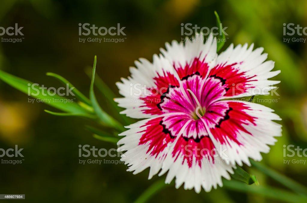 Blanket Flower, Gailardia Pulchella stock photo
