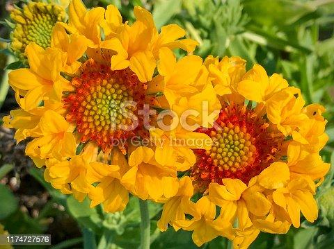 Yellow and red flowers of blanket flower, Gaillardia grandiflora (G. aristata × G. pulchella) cultivar.