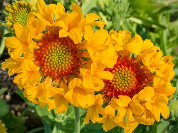 blanket flower, Gaillardia grandiflora cultivar stock photo