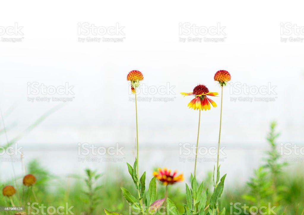 blanket flower in a summer wild field. stock photo