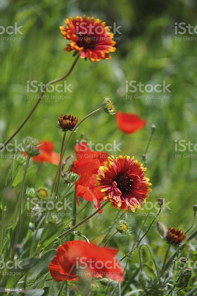 Blanket flower (Gaillardia aristata) stock photo