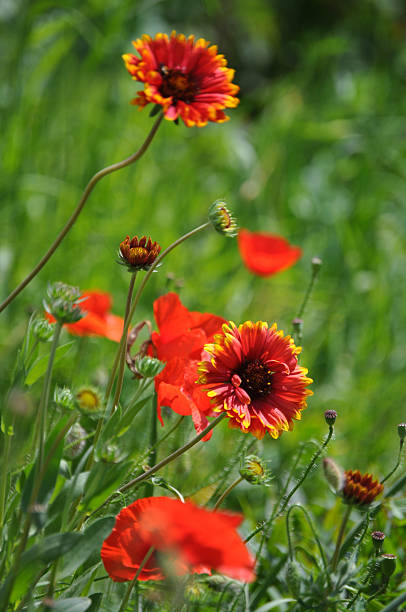 Blanket flower (Gaillardia aristata) stock photo