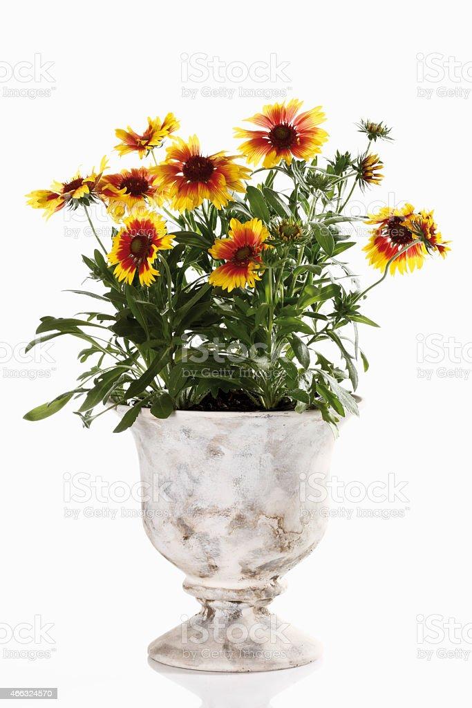 Blanket flowers in vase (Gaillardia pulchella) stock photo