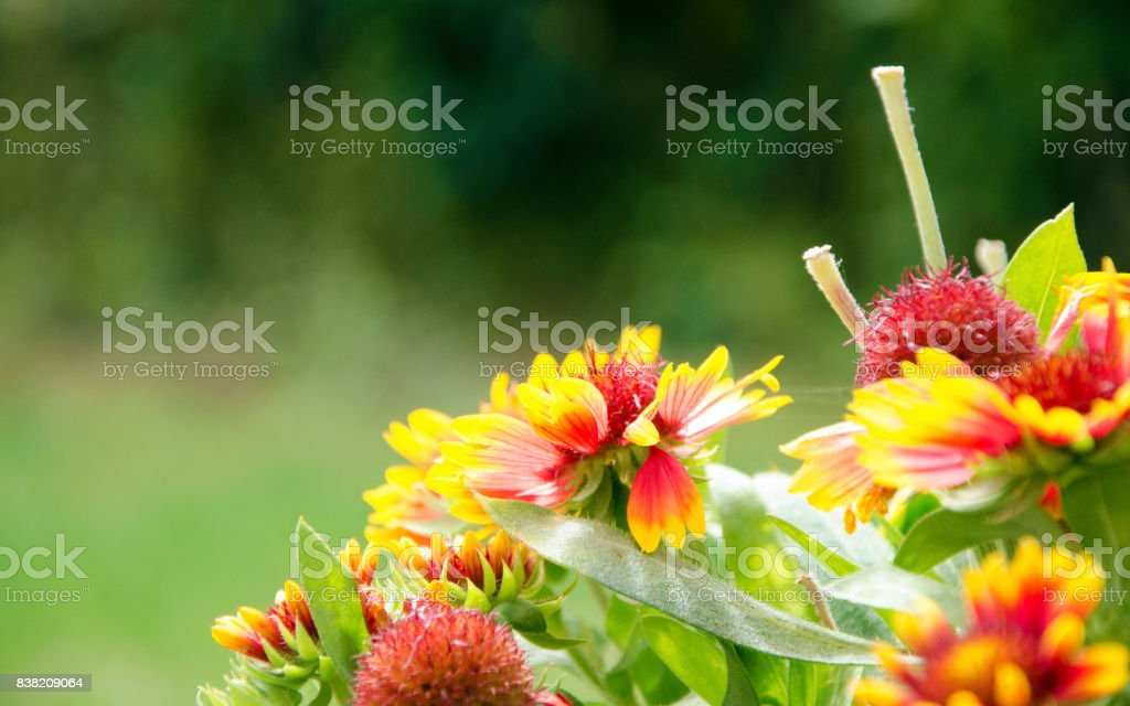 Blanket Flowers of Summer stock photo