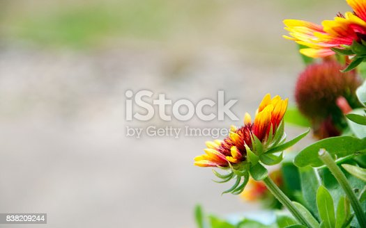 Blanket Flowers Of Summer Stock Photo & More Pictures of Backgrounds