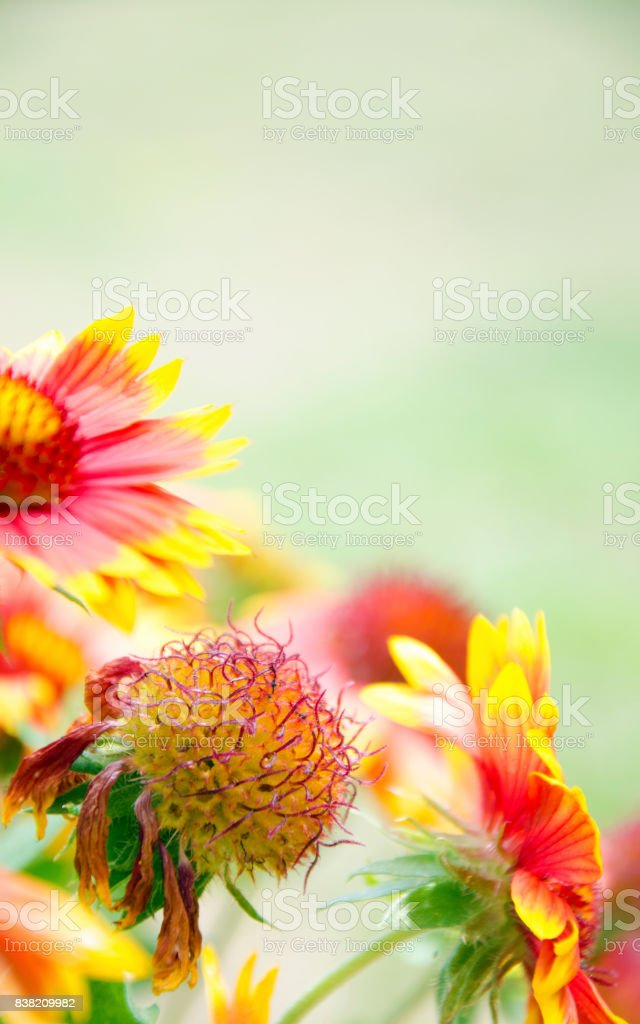 Blanket Flowers of Summer royalty-free stock photo