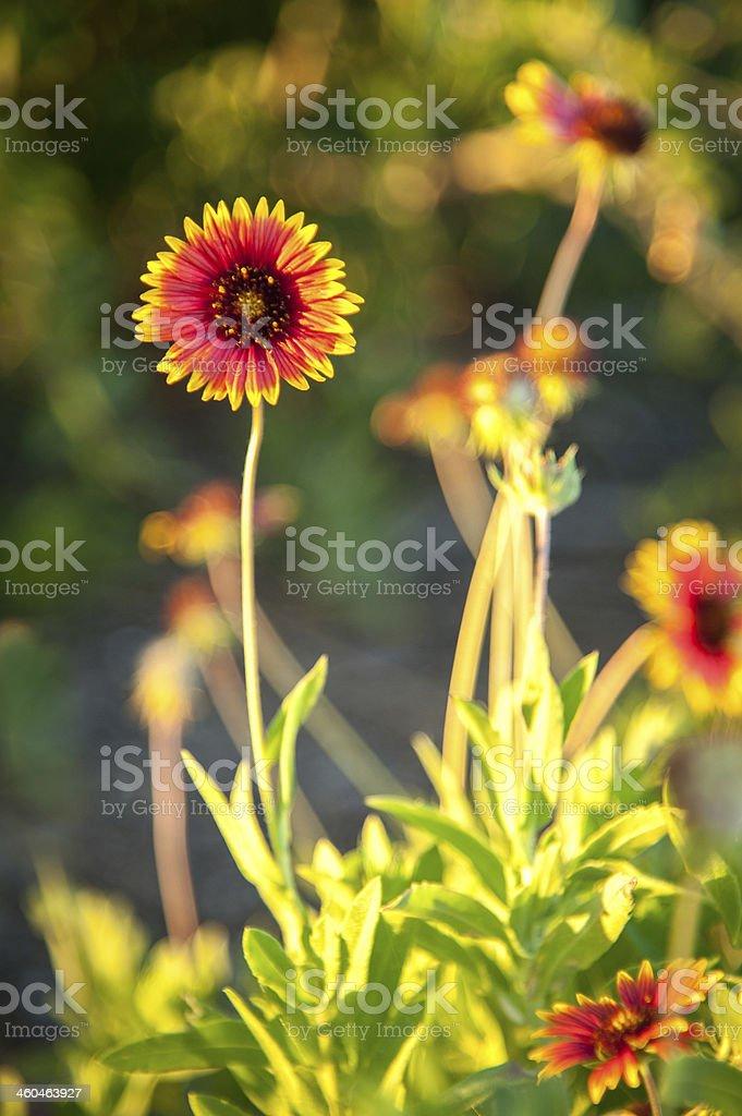 Blanket flowers stock photo